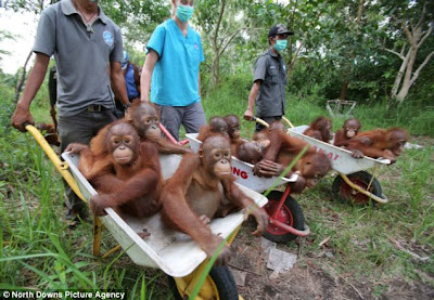 Tragis, Orang Utan Kalimantan Hampir Punah