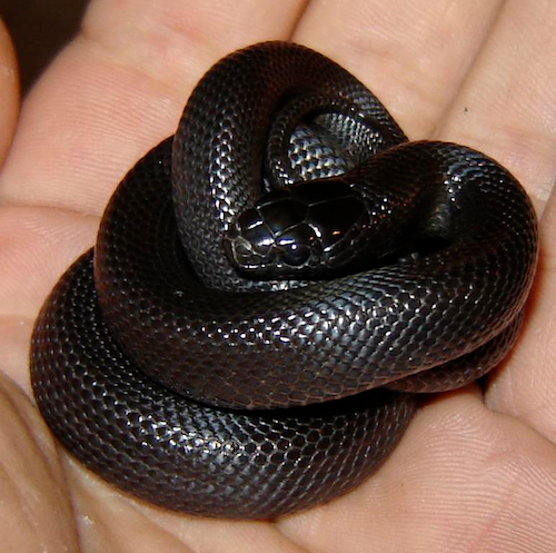 Black Mexican King Snake Snakes