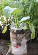 Tips praktis menanam/budidaya sayuran sawi. Sawi hijau (Brassica Juncea) merupakan jenis sayuran yang cukup populer. Dikenal pula sebagai caisim, caisin, atau sawi bakso, sayuran ini mudah dibudidayakan dan dapat dimakan segar (biasanya dilayukan dengan air panas) atau diolah menjadi asinan. Jenis sayuran ini mudah tumbuh di dataran rendah maupun dataran tinggi. Sawi merupakan Sayur-sayuran yang sangat bermanfaat untuk tubuh kita.  Karena selain kaya akan serat dan vitamin, tentunya juga dapat mencegah berabagai penyakit, seperti sayuran Sawi yang bernama latin Brassica Juncea ini termasuk ke dalam family curciferae.   Sawi hijau merupakan sumber yang kaya anti-oksidan flavonoid, indoles, sulforaphane, karoten, lutein dan zeaxanthin. Indoles, terutama di-indolyl-metana (DIM) dan sulforaphane memiliki manfaat nyata dalam melawan prostat, kanker usus, kanker payudara, dan kanker ovarium berdasarkan penghambatan pertumbuhan sel kanker, efek sitotoksik pada sel kanker, selain itu daun sawi segar juga bermanfaat sebagai sumber vitamin C-. Menyediakan 70 mcg atau sekitar 117% dari AKG per 100 g. Vitamin-C (asam askorbat) adalah anti-oksidan alami yang kuat, yang menawarkan perlindungan terhadap cedera radikal bebas dan flu seperti infeksi virus. Cara agar daun sawi cepat mengembang Dengan begitu besar manfaat yang didapat dari tanaman sawi sehingga mendasari saya untuk melakukan budidaya tananan sawi secara hidroponik sehingga tanamn sawi dapat dibudidayakan di sekitar rumah tanpa memerlukan lahan yang luas. Cara menanam sawi paling praktis media botol bekas Wadah Tempat Penanaman. Agar daun sawi cepat merekah  Wadah atau tempat yang di butuhkan dalam budidaya dengan system hidroponik adalah: Botol plastik air mineral bekas. Gelas plastik bekas air mineral. Kain untuk sumbu (kain panel lebih bagus. Nutrisi hidroponik. Media tanam (rocwool, arang sekam, kerikil, pasir malang, pecahan bata merah). Pilih yang paling mudah didapat. Kita bisa melihat betapa sederhananya bahan 