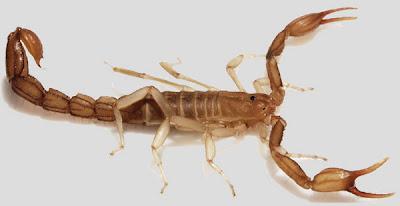 死谷毒蠍:死谷毒蠍」比一元硬幣還小 竟身懷要命劇毒!