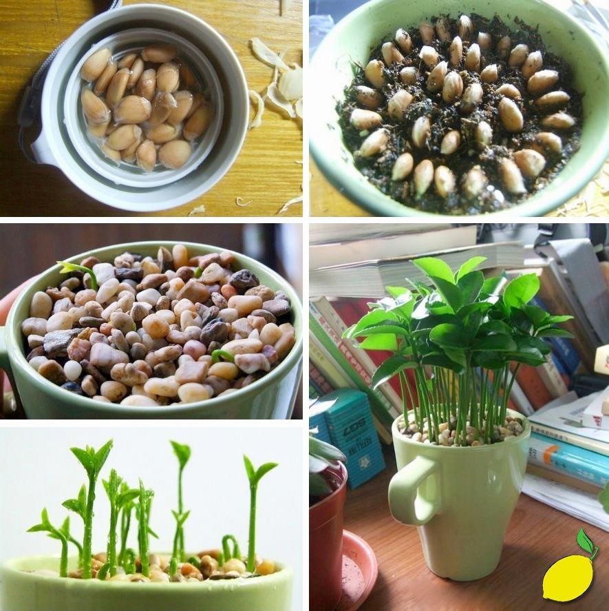 Amphora salud y enfermedad germinar semillas de limones for Como sembrar semillas en macetas