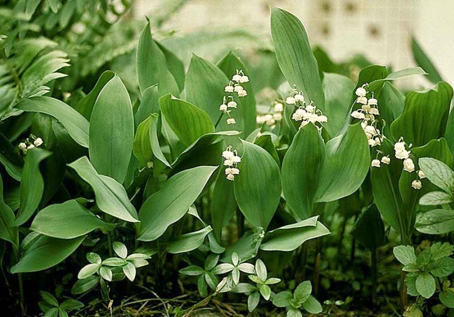 lily of the valley herb