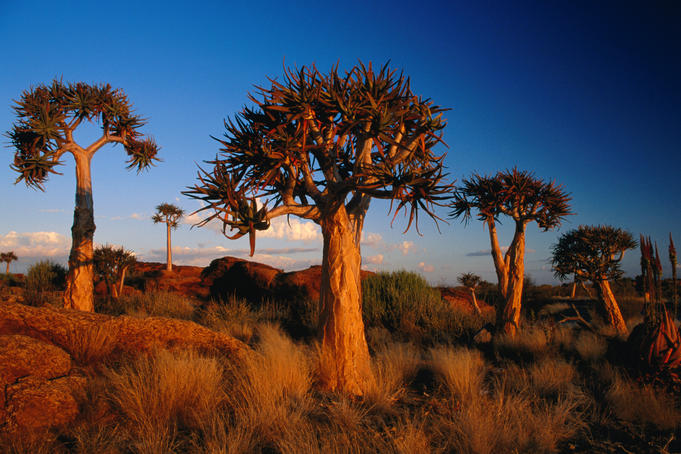 SOUTH AFRICAN TREE ART 681x454-2