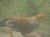 pollo marañon