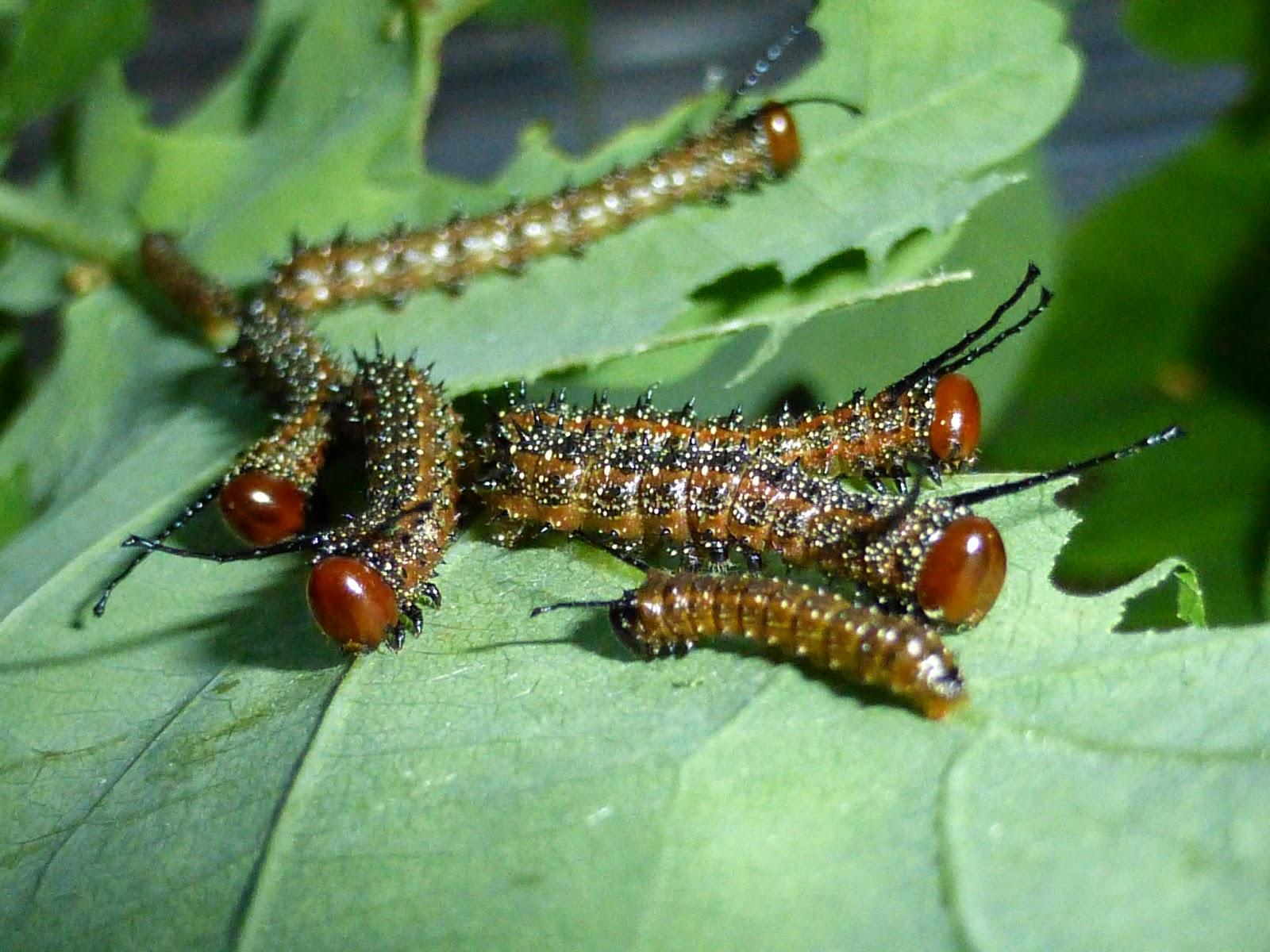 Anisota virginiensis L3 caterpillars