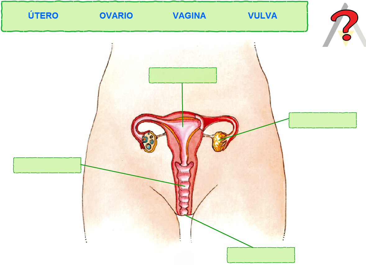 Diagramas Del Sistema Reproductor Femenino Images