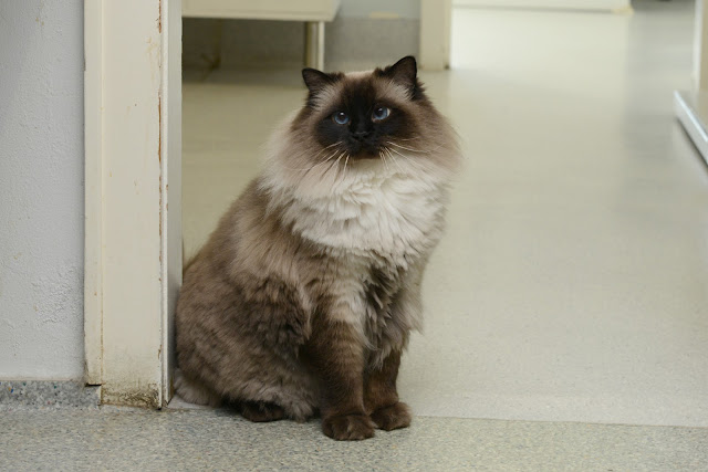 Cat longhair