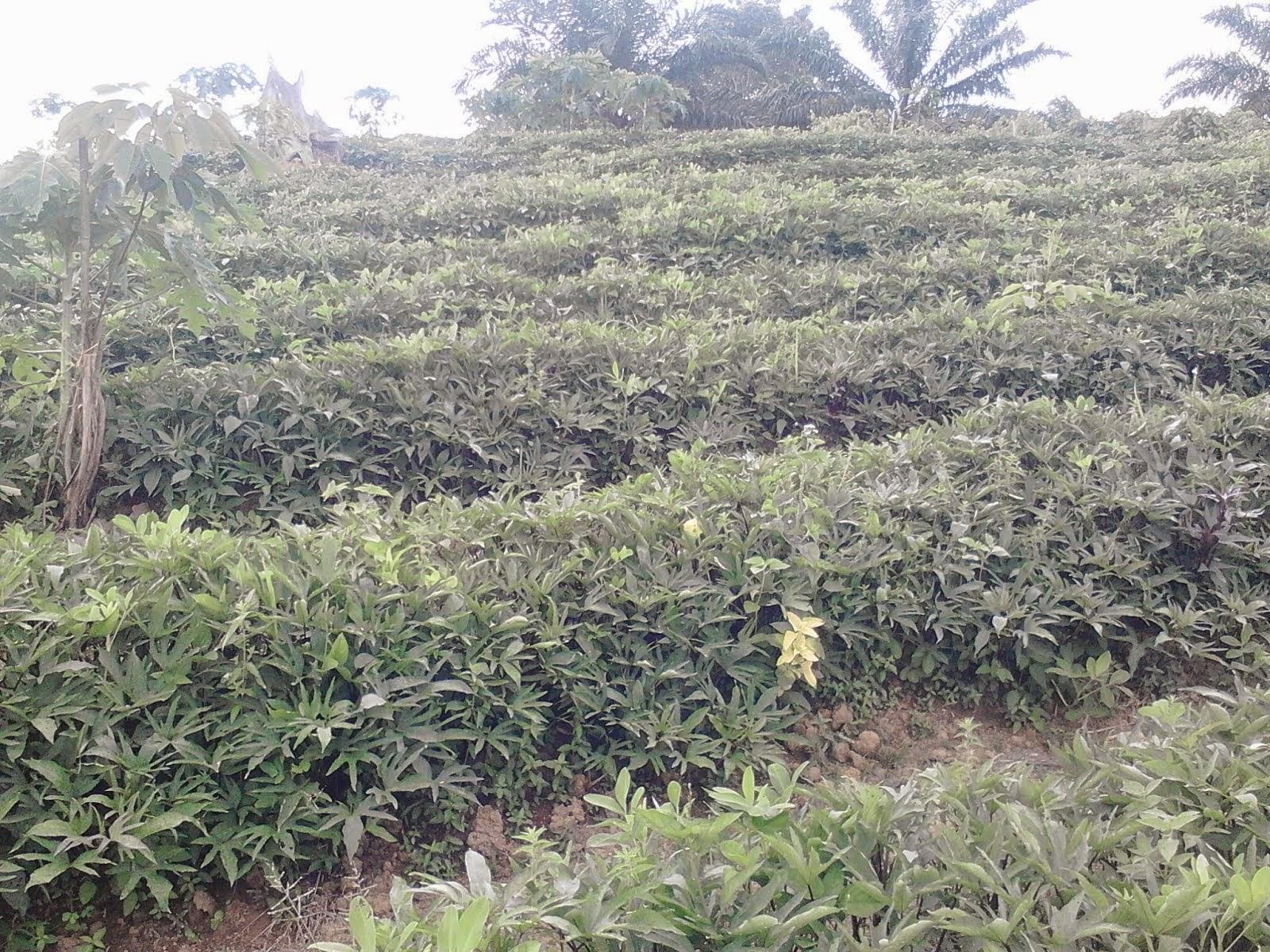 Tanaman ubi jalar Milik salah satu Petani di Desa Saing Prupuk