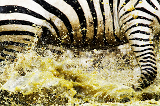 Close Up Zepra and Water Splash Photo HD Wallpaper