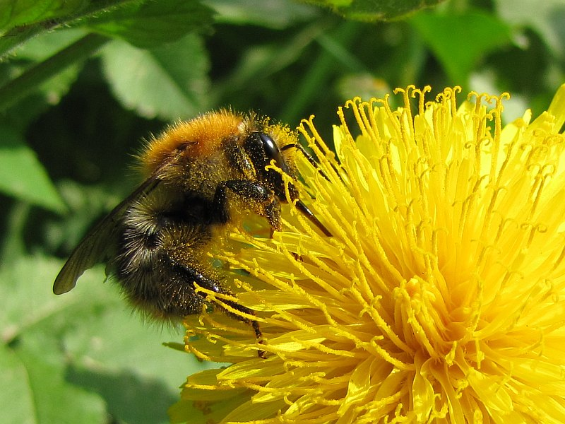 Pszczoła miodna (Apis mellifera)