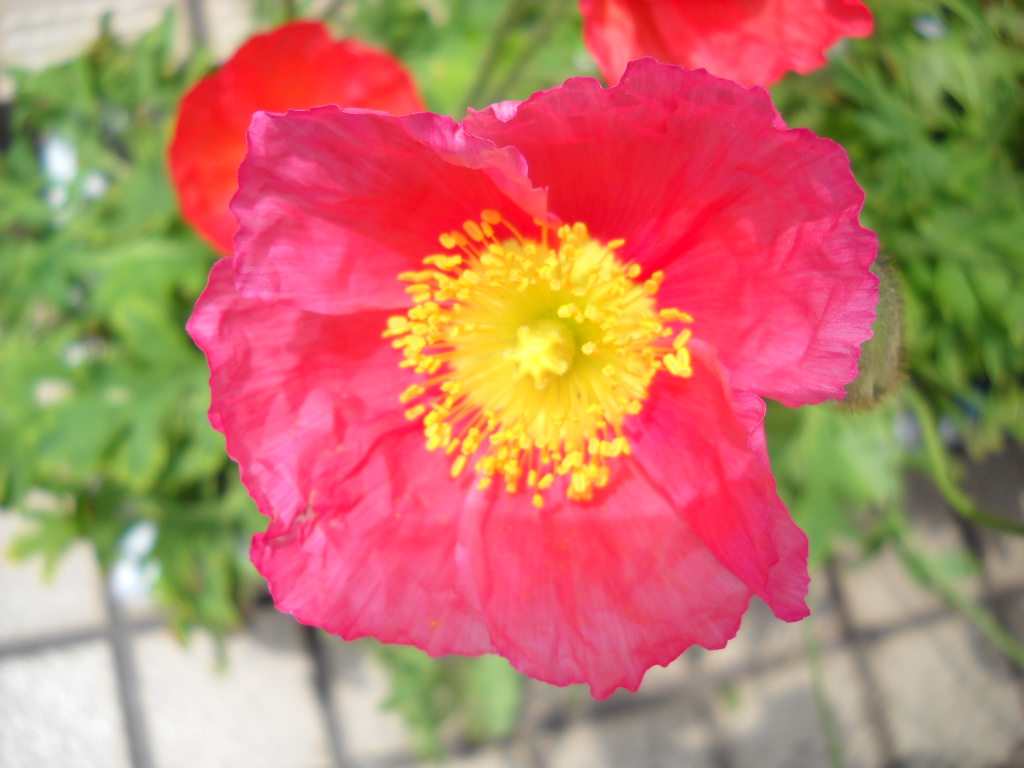 Daily glimpses of japan poppy flowers in japan in japanese symbolism red poppy means fun loving and the yellow poppy symbolizes success poppy flowers used to be my favourite as a child mightylinksfo