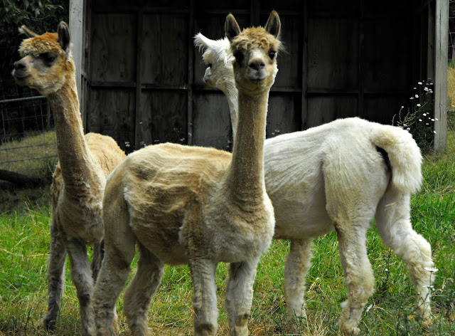Cream and white female alpacas
