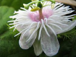 Bunga Letup