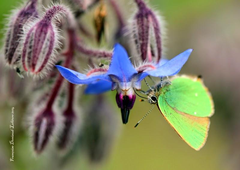 Thécla de la Ronce (Callophrys rubi)