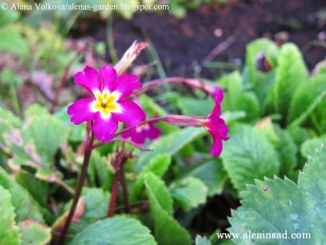 цветы, осенью, весенние цветы, примула осенью, примулы, лиловая примула, темно-розовая примула, Primula