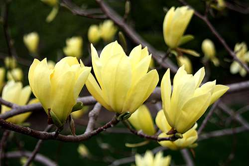 Foy update yellow flowering japanese magnolia butterflies more reasonably priced i have seen whips for as low as 30 and larger ball and burlap plants in the several hundred dollar range mightylinksfo Gallery
