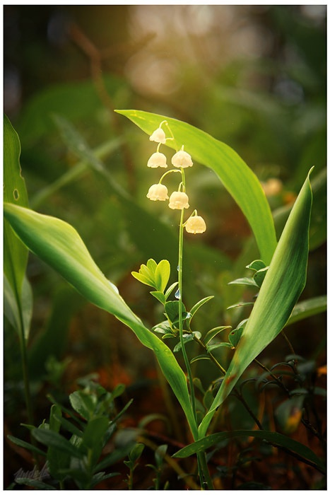 Lilly of the Valley - fairy lanterns