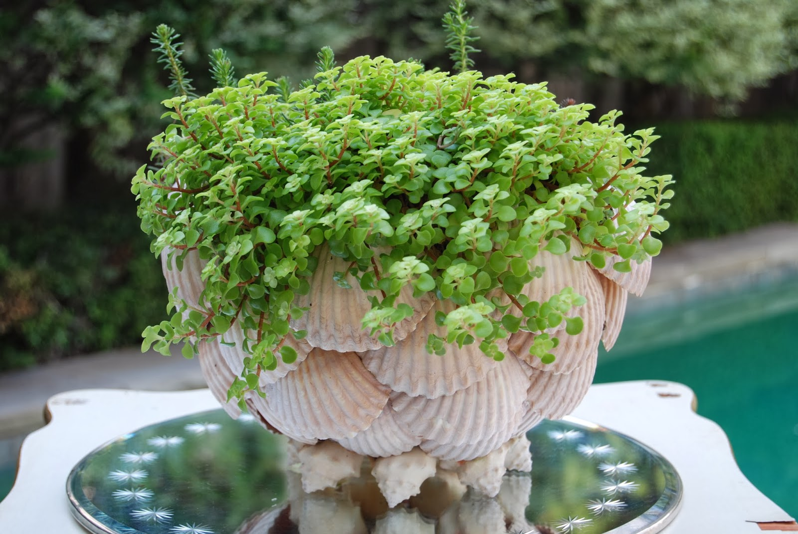 Scalloped clam shell planter