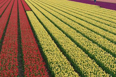 hoa tulip 7