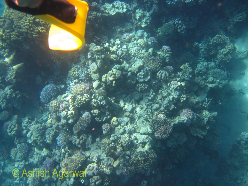 Twisted flipper in front of a section of coral reef in the Ras Muhammad marine park in the Red Sea in Egypt
