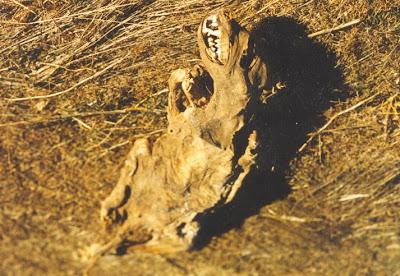 El Chupacabra Mystery, bloodsucking Dogs Image 1