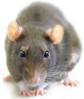 ¿Qué significa Rata?