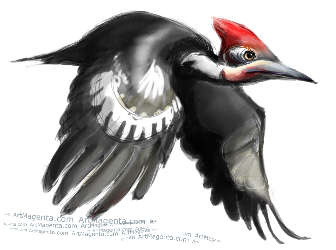Pileated Woodpecker sketch painting. Bird art drawing by illustrator Artmagenta
