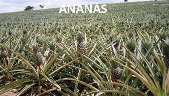 ananasın faydaları nelerdir, ananas nelere iyi gelir