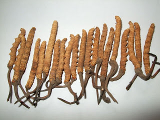 Cordyceps sinensis extract reduces inflammation of the lining of the respiratory tract