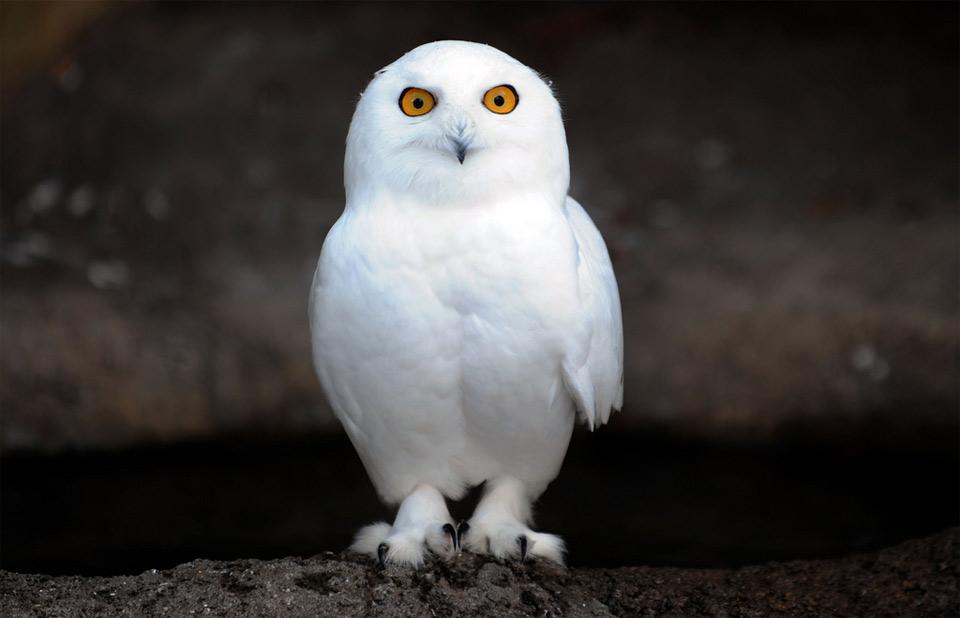 Cute baby white owl - photo#27