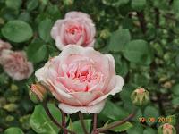 rosier kordes