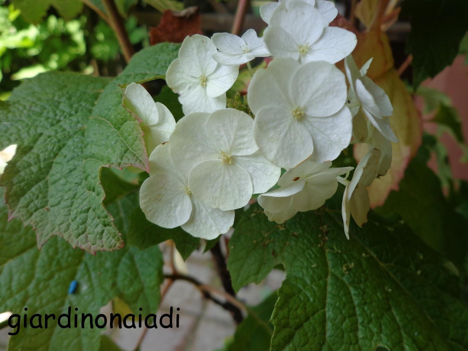 Il giardino delle naiadi hydrangea quercifolia la regina for Ortensia quercifolia