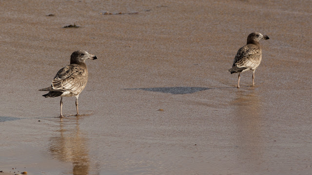 juvenile pacific gulls on beach