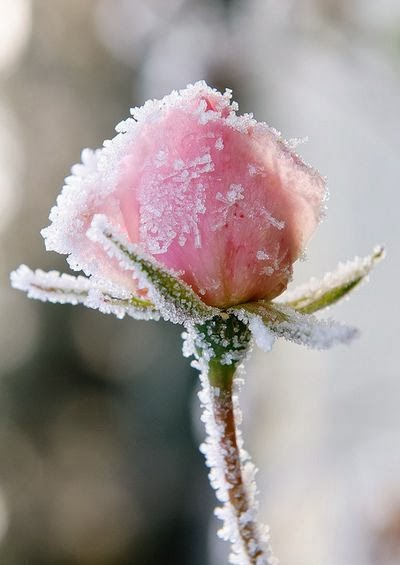 Pink Rose covered with snow