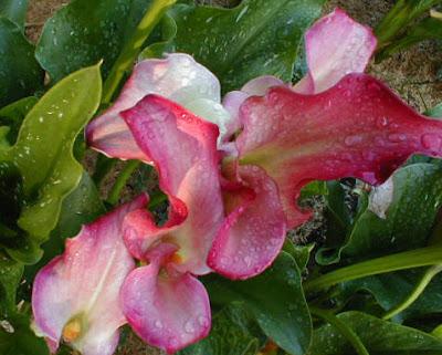Calla Pacific Pink photos
