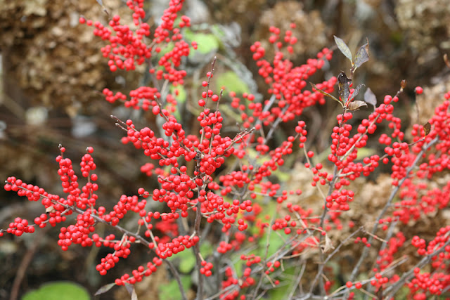 Berry Poppins winterberry holly from Proven Winners