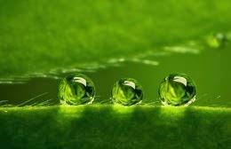 Три капли воды на листе растения