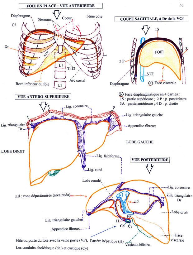 Nett Anatomie Des Brest Zeitgenössisch - Anatomie Ideen - finotti.info