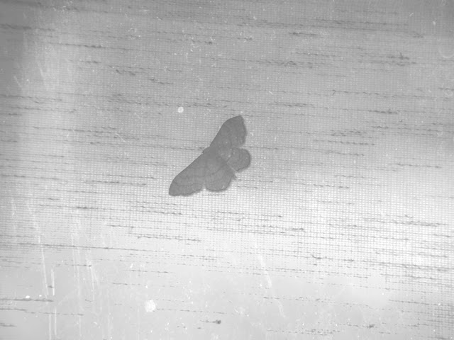 a moth on a distressed whit background