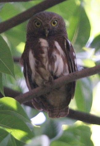 Foto burung hantu Beluk watu Jawa