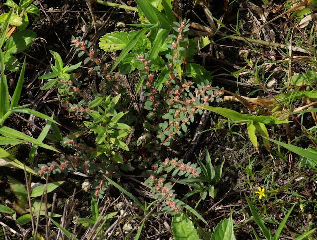 Euphorbia conferta - Chamaesyce conferta