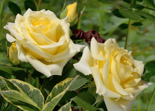 Mohana rose сорт розы фото
