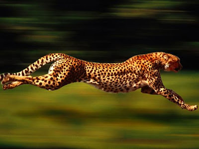 Top 10 Haiwan Terpantas Di Dunia cheetah