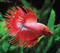 ปลากัดหางมงกุฎ หรือ ปลากัดคราวน์เทล (Crowntail)