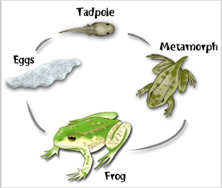 developmental stages of frog