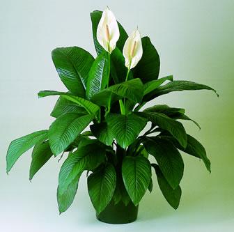 Plantas interior jardineria for Nombre de plantas de interior