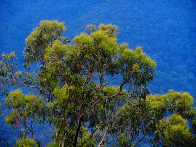 Eucalyptus trees contrast with the blue of Mt Pinninger, Great Dividing Range, Victoria, Australia photo by John Fitzgerald