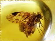 نحلة محفوظة فى الكهرمان