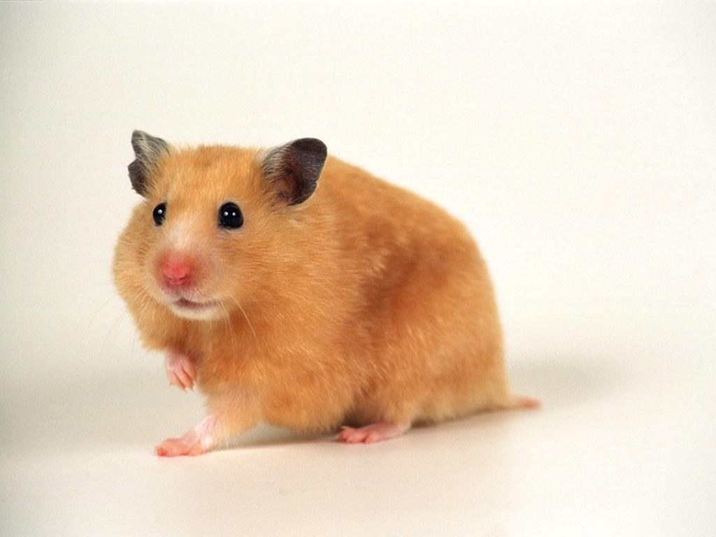 Hamster Wallpapers | Fun Animals Wiki, Videos, Pictures ...