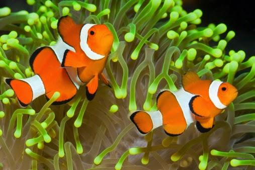 gambar hewan - foto ikan nemo